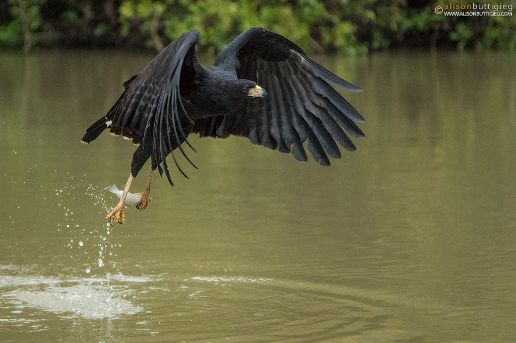 Great Black Hawk - Pantanal, Brazil