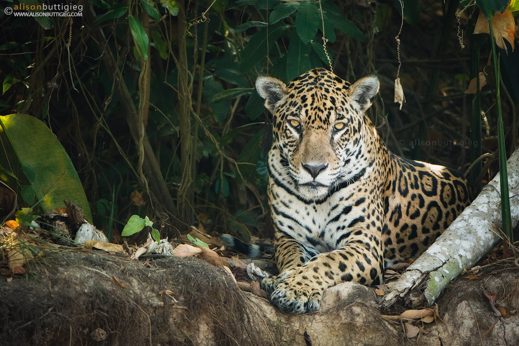 Want To Photograph Jaguars? Some Tips To Make It Happen!