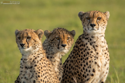 CH007 Malaika the cheetah and 2 of her youngsters.  Masai Mara, Kenya