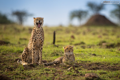 CH006 Laughing cheetah and serious cub - Masai Mara, Kenya