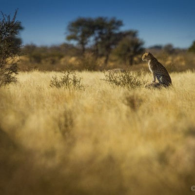 Leopard - Kgalagadi Transfontier Park, South Africa