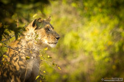 Lioness - Kafue National Park, Zambia