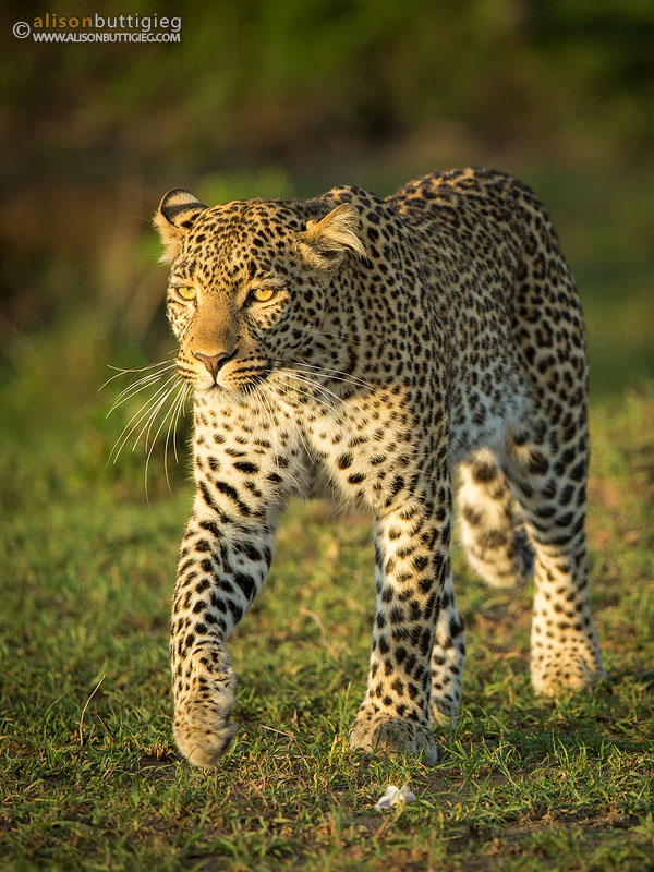 Fig the Leopard on a Mission