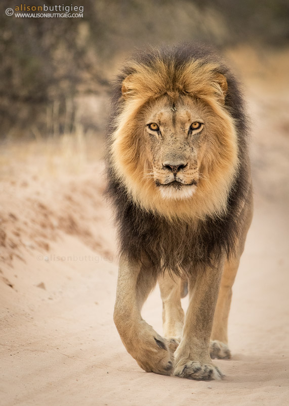 Male Lion patrolling his territory in the Kgalagadi Transfrontier Park, South Africa