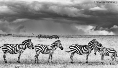 The Zebras and the Storm