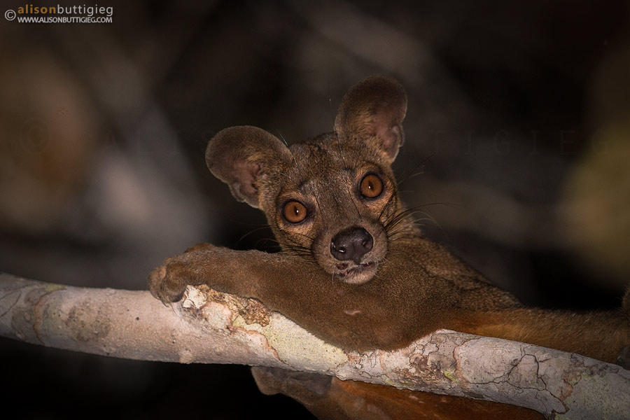 The Fosa Alison Buttigieg Wildlife Photography