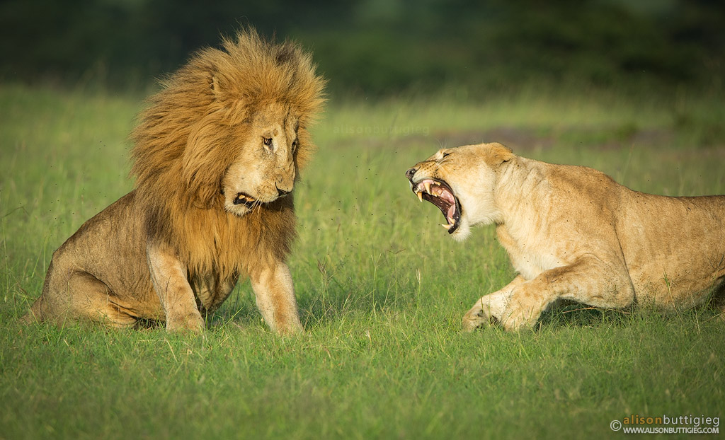 Big Cats Fight Videos