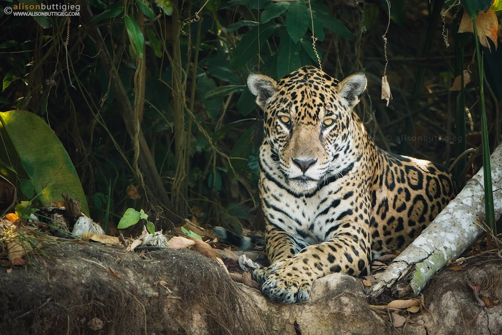 want to photograph jaguars some tips to make it happen alison buttigieg wildlife photography. Black Bedroom Furniture Sets. Home Design Ideas
